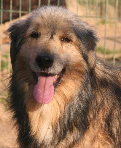 Adopter JOKER, chien colley male de 14 ans