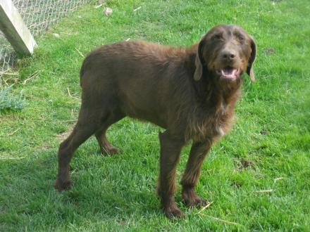 Adopter JUNIOR, chien griffon male de 13 ans