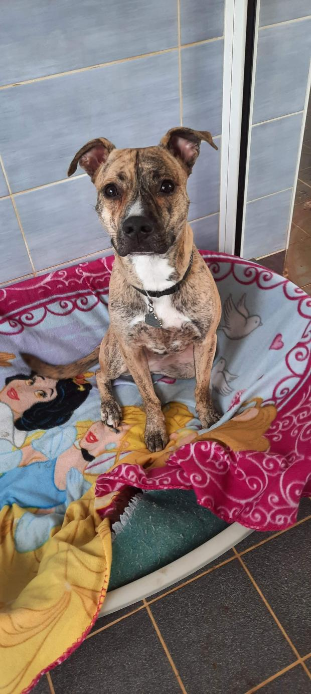 Adopter KOBY, chien berger male de 19 mois