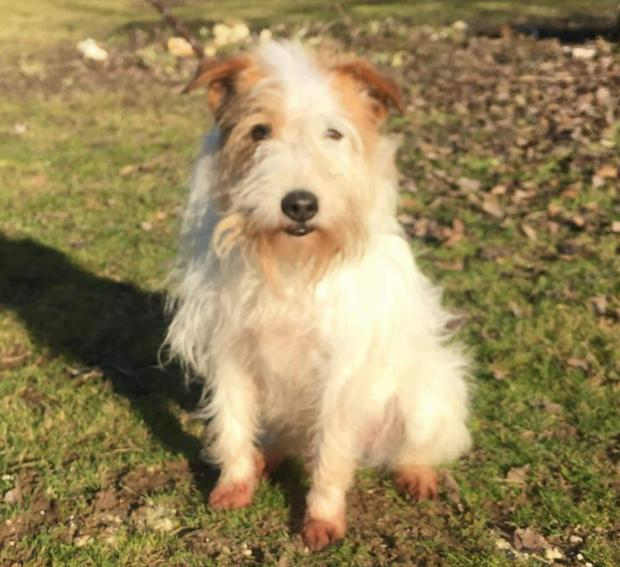 Adopter KENOBI, terrier male de 12 ans