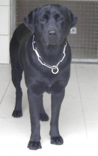 Adopter KERRY, chien retriever male de 7 ans