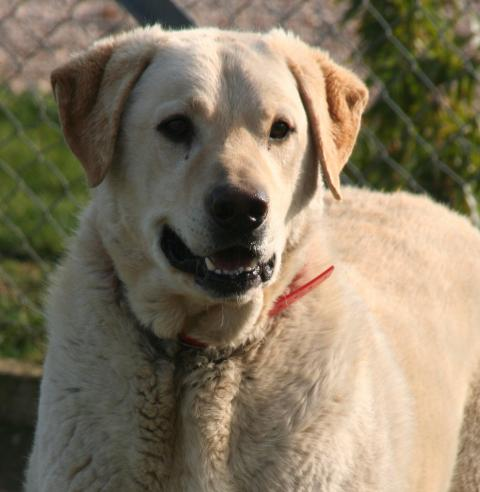 Adopter KOSTO, chien retriever male de 9 ans