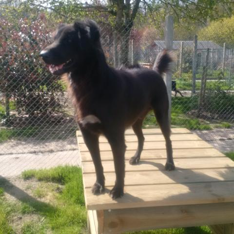 Adopter LICORICE, chien berger male de 6 ans