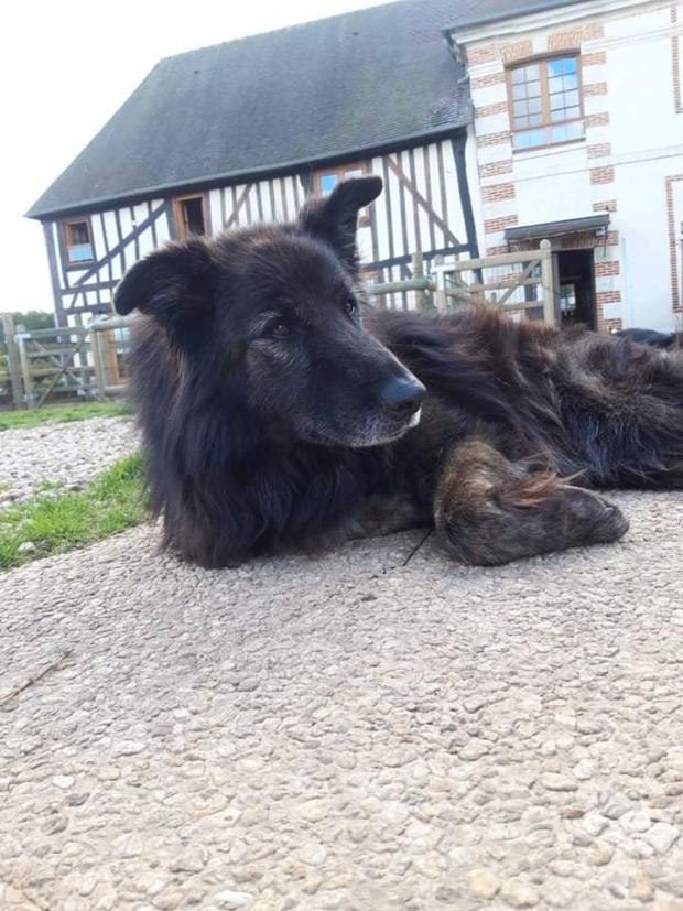 Adopter LOULOU, chien berger male de 11 ans
