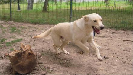Adopter LUCKY, chien retriever male de 9 ans