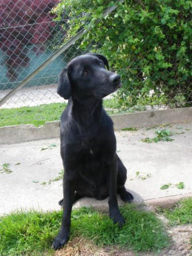 Adopter MABROUCK, chien retriever male de 11 ans