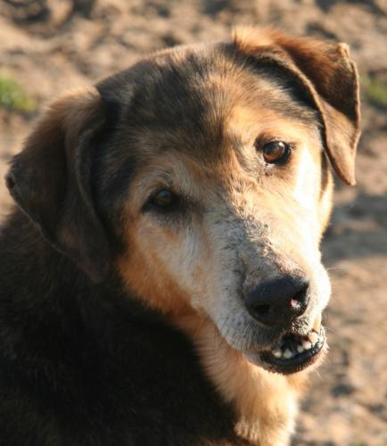 Adopter MANO, chien berger male de 14 ans