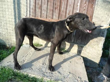 Adopter MATELOT, chien retriever male de 9 ans
