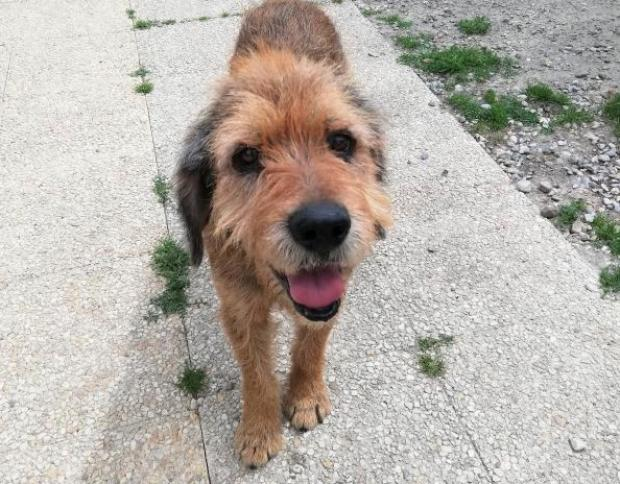 Adopter MERLIN, chien berger male de 9 ans