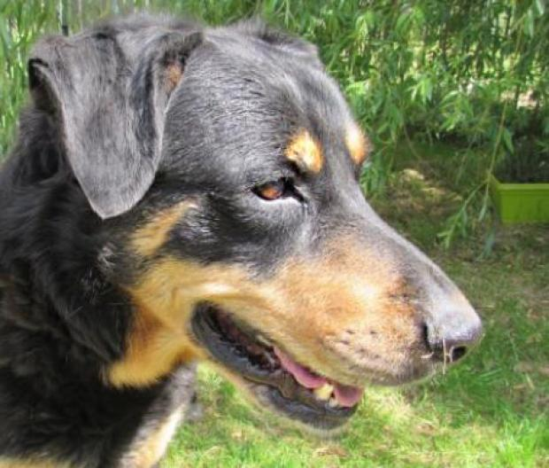 Adopter MILLER, chien berger male de 10 ans