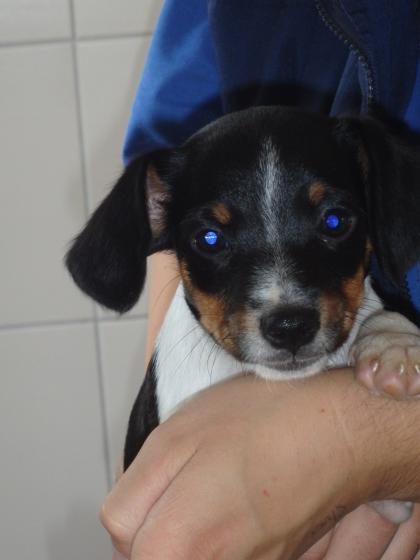 Adopter NUTS, chien jack_russel male de 1 an