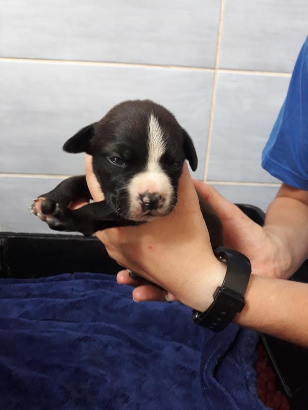 Adopter ONYX, chien pointer male de 7 mois