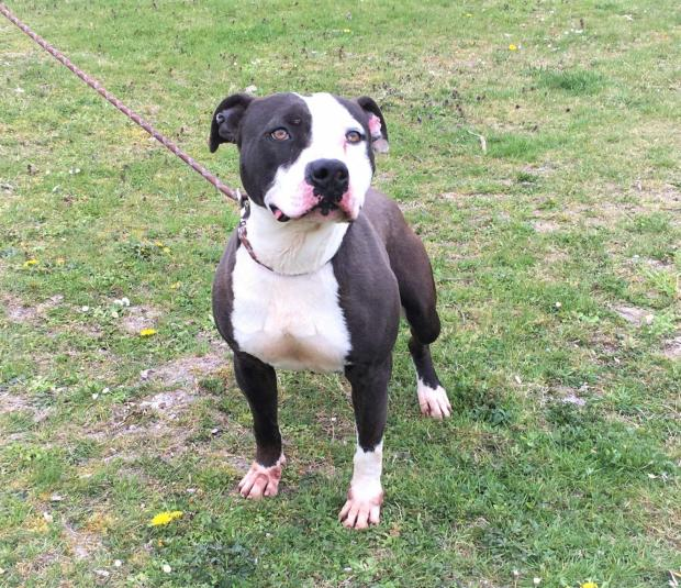 Adopter ODGE, chien american_staffordshire male de 4 ans
