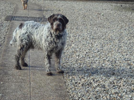 Adopter SMOKY, chien drathaar male de 8 ans