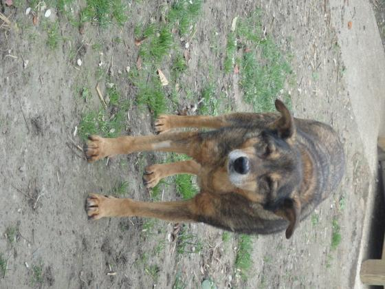 Adopter KIKI alias RIPLAY alias RIQUET, chien berger male de 15 ans