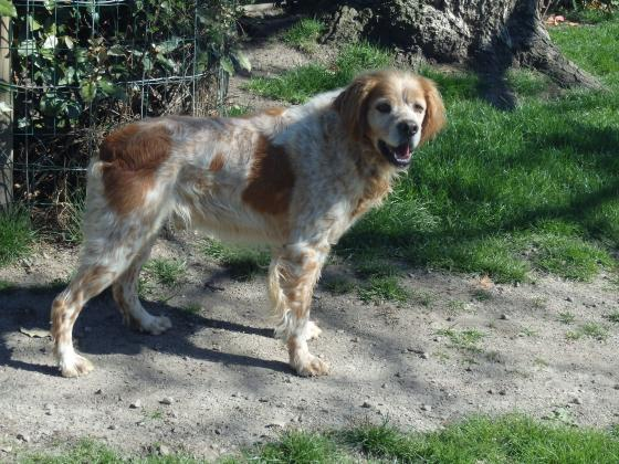 Adopter ENZO, chien epagneul male de 9 ans
