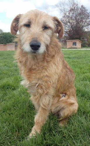 Adopter FLEE, chien terrier male de 12 ans
