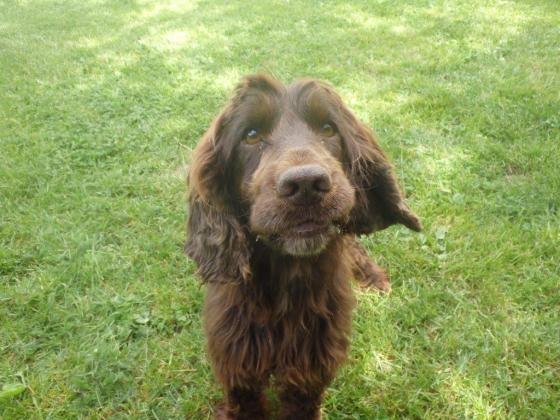 Adopter JEFF, chien cocker male de 6 ans