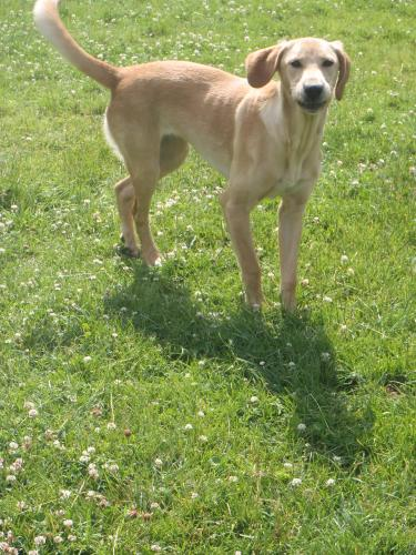 Adopter CHAMALLOW, chien retriever male de 4 ans