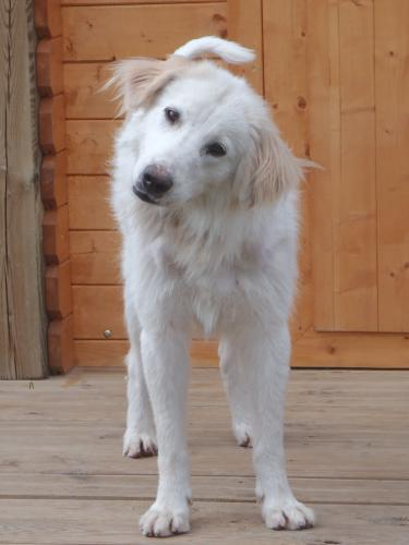 Adopter SAMO, chien berger male de 5 ans