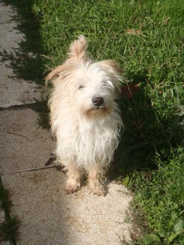 Adopter WICK, chien terrier male de 12 ans