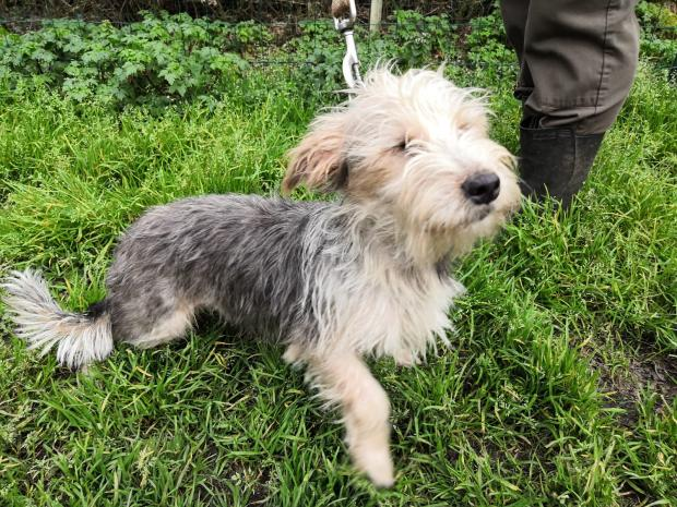 Adopter paf, chien yorkshire male de 9 mois