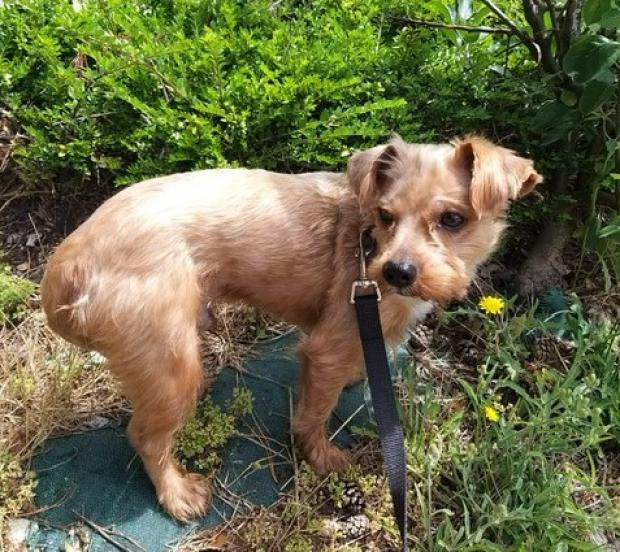Adopter OLIVER, chien yorkshire male de 3 ans