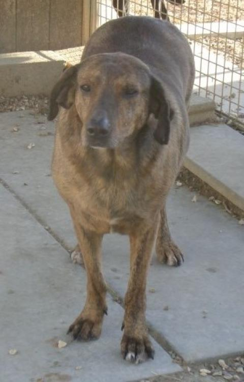 Adopter pam, chien berger male de 12 ans