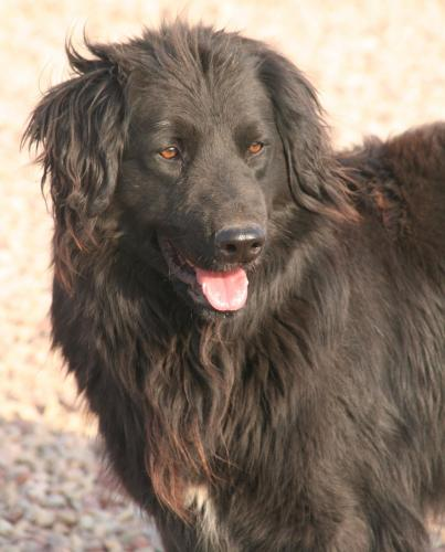 Adopter PONGO, chien retriever male de 7 ans