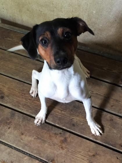 Adopter RUSTY, chien jack_russel male de 6 ans