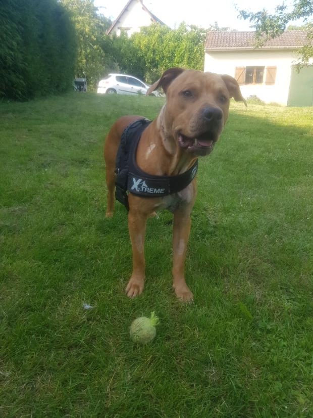 Adopter GT, chien dogue_allemand male de 4 ans