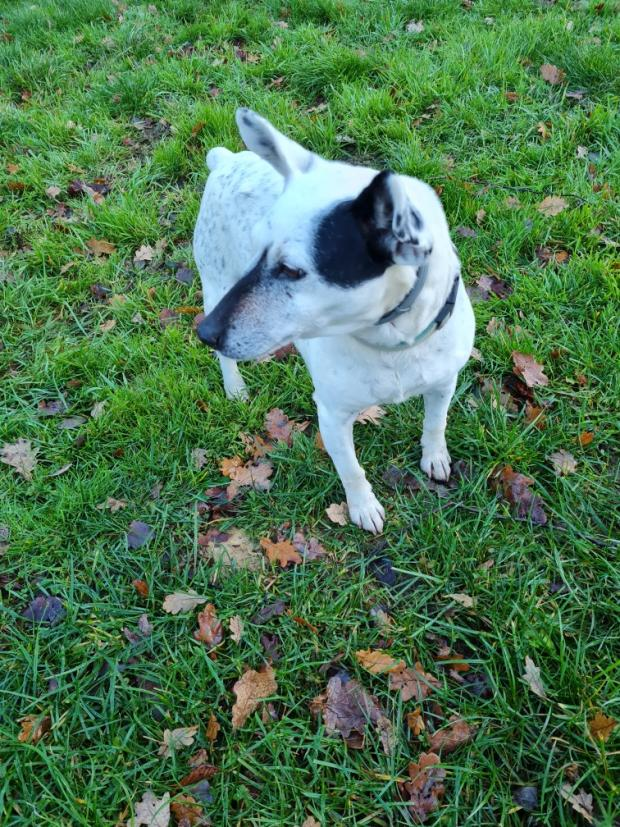 Adopter TOM, chien terrier male de 12 ans