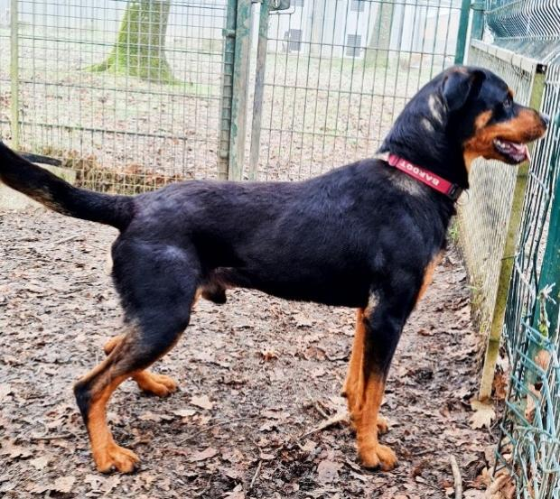 Adopter QUERCY, chien rottweiler male de 27 mois