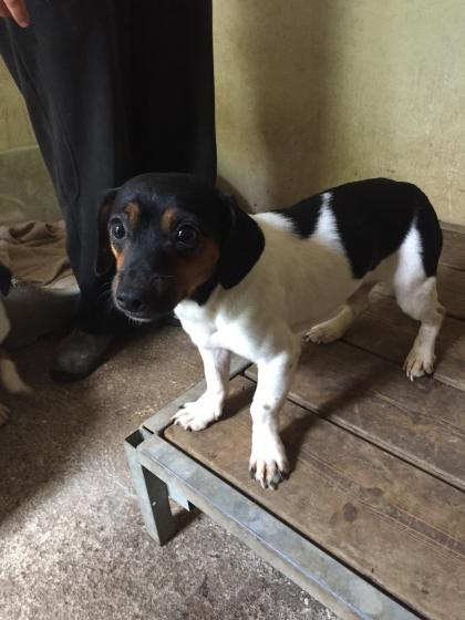 Adopter STITCH, chien jack_russel male de 7 ans