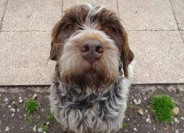 Adopter SMOKY, chien drathaar male de 11 ans