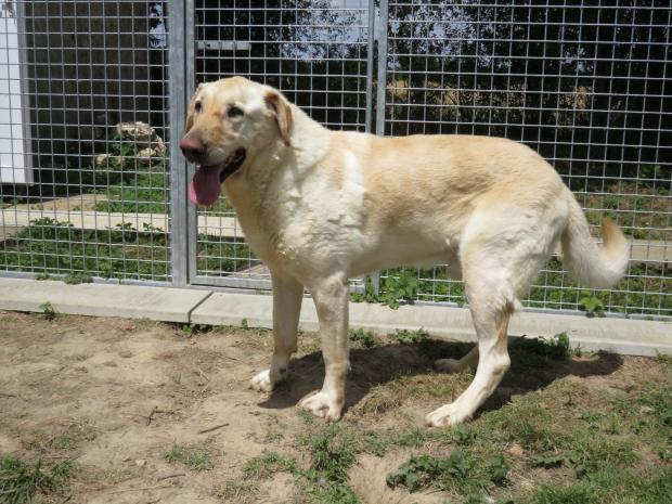 Adopter SONIC, chien retriever male de 11 ans