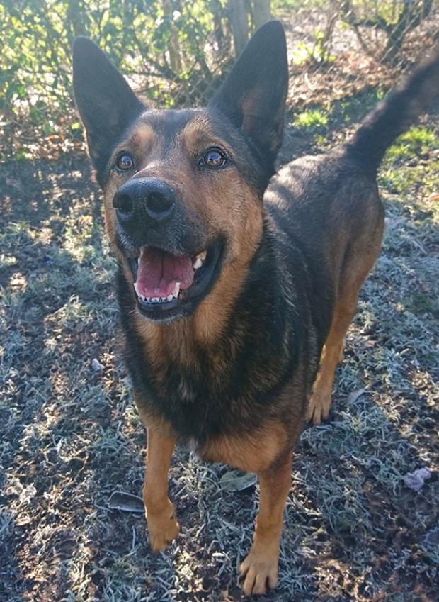Adopter TEQUILA, chien berger_malinois femelle de 5 ans