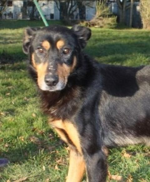 Adopter VICTOR, chien beauceron male de 15 ans