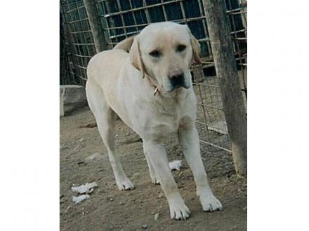 Adopter YOUKI, chien retriever male de 12 ans