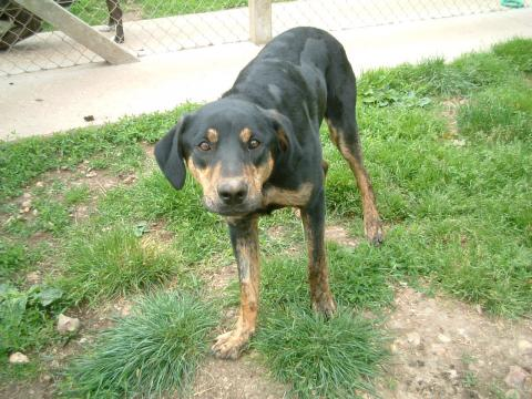 Adopter BILL, chien beauceron male de 12 ans