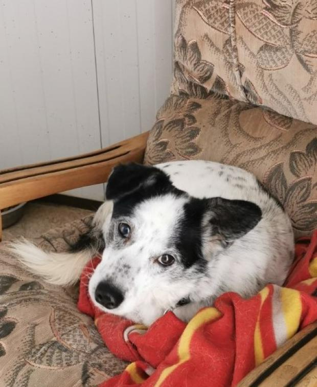 Adopter BOBBY, chien setter male de 6 ans