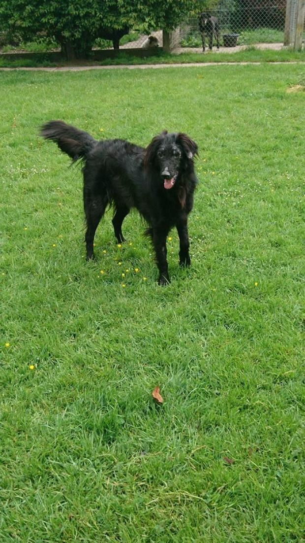 Adopter CHOUBI alias HOUBI, retriever male de 8 ans