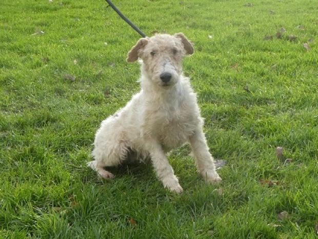 Adopter clay, chien fox_terrier male de 4 ans