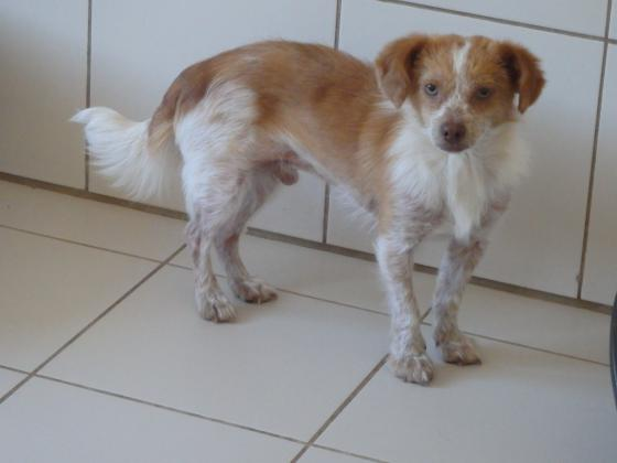 Adopter COCO, chien epagneul male de 2 ans