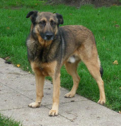 Adopter cops, chien berger male de 11 ans