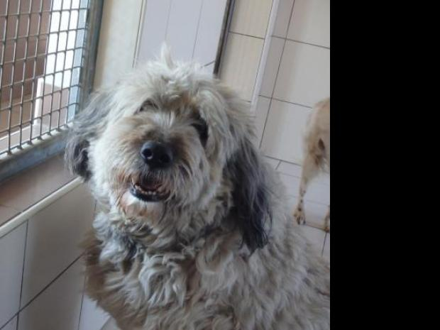 Adopter BILL, chien berger_de_brie male de 13 ans