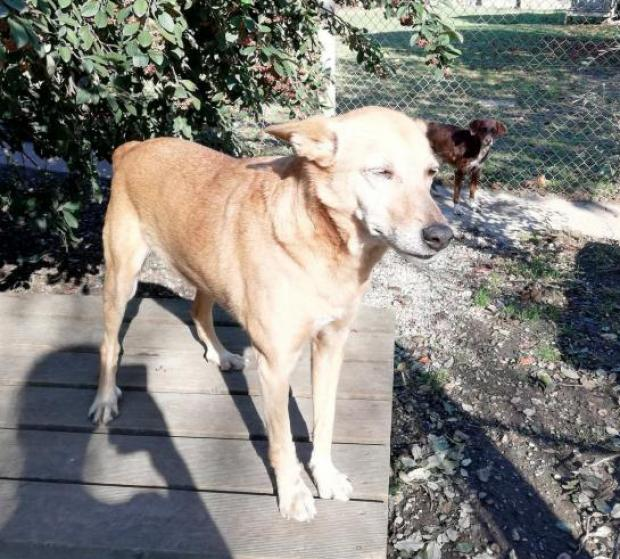 Adopter GHOST, chien berger male de 9 ans