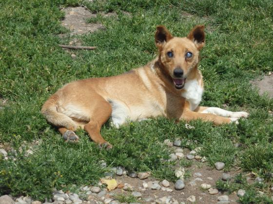 Adopter HAMOO, chien welsh_corgi male de 9 ans
