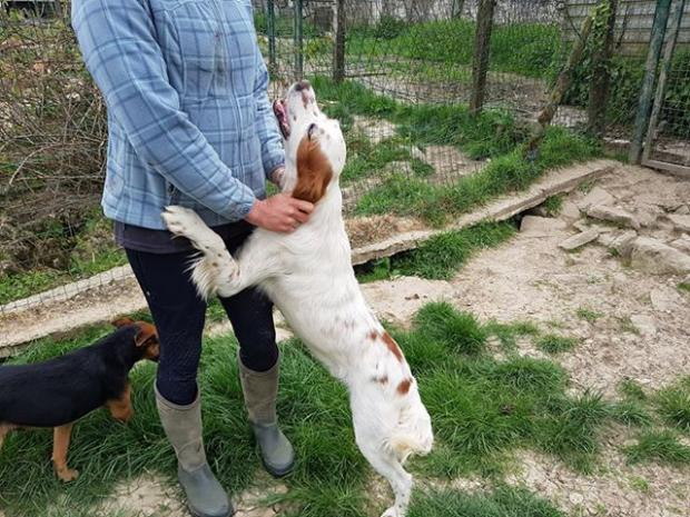 Adopter HAPPY, chien epagneul male de 5 ans