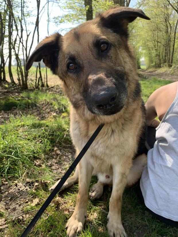 Adopter SIMBA, chien berger_allemand male de 5 ans